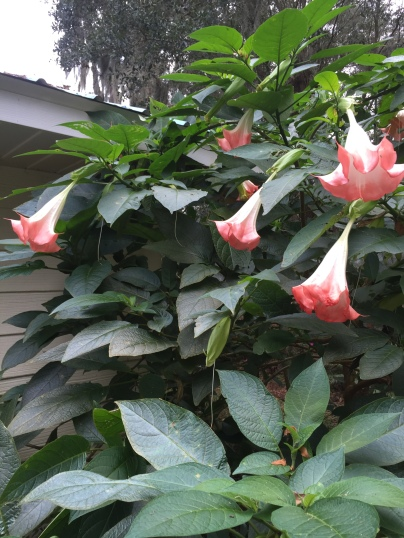 angel-trumpet-blooms
