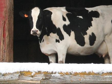 Grateful Dairy Cow